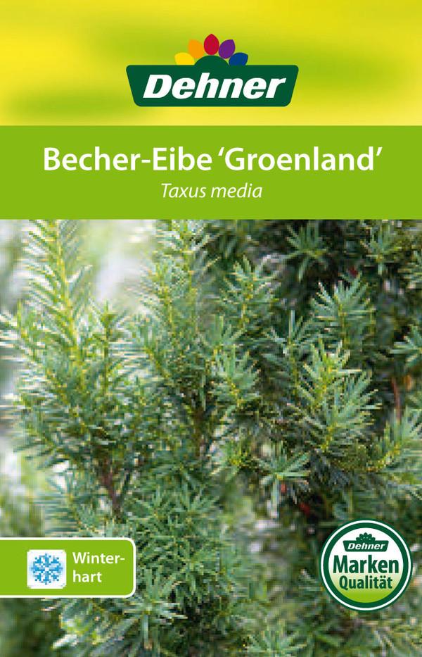 Becher-Eibe 'Groenland'