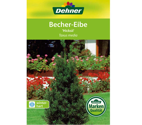 Becher-Eibe 'Hicksii'