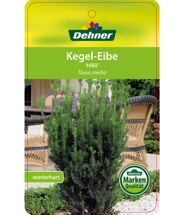 Becher-Eibe 'Hillii'