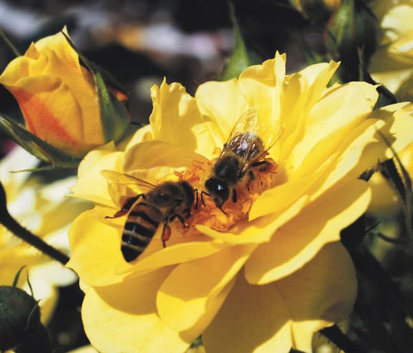 Beetrose 'Bienenweide® Gelb'