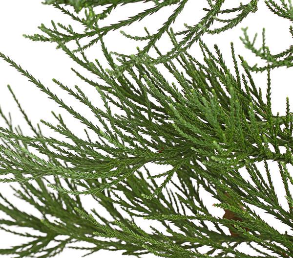 Bergmammutbaum - Wellingtonie 'Glaucum'