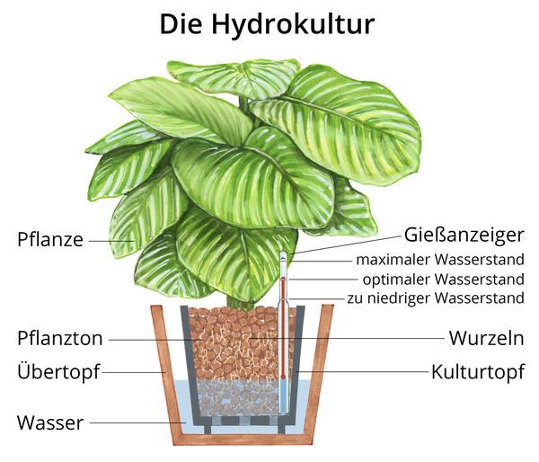 Bergpalme, Hydrokultur