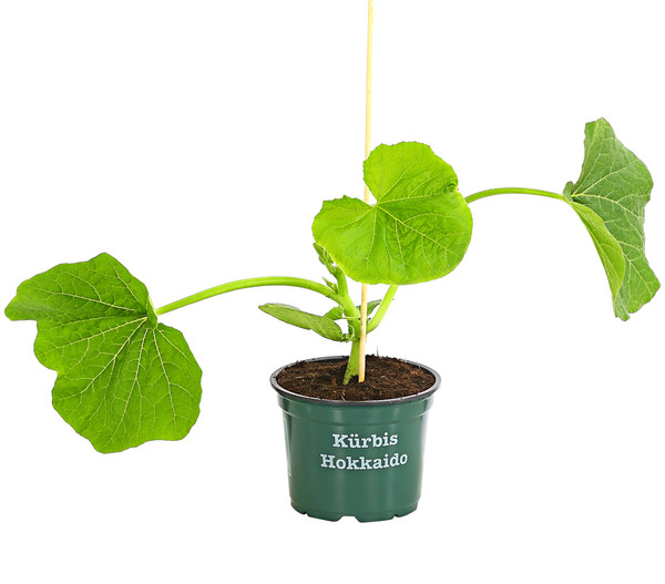 Bioland Speisekürbis Hokkaido, Pflanze