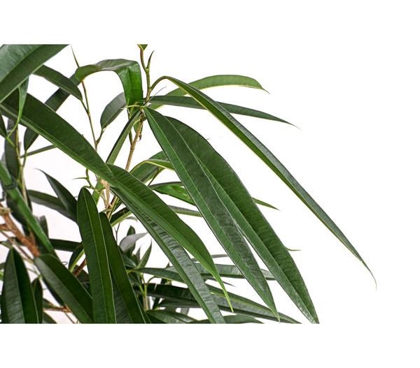Birkenfeige - Ficus 'Alii', Hydrokultur