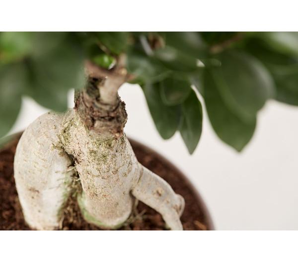 Birkenfeige 'Ginseng', Bonsai