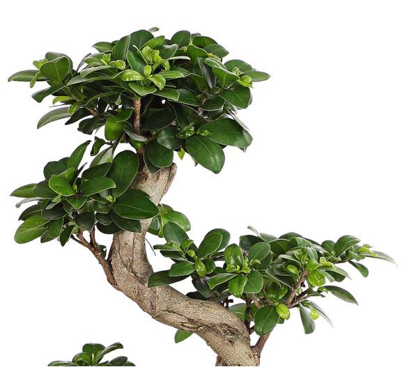 ginseng bonsai pflege excellent pruning a ficus bonsai. Black Bedroom Furniture Sets. Home Design Ideas