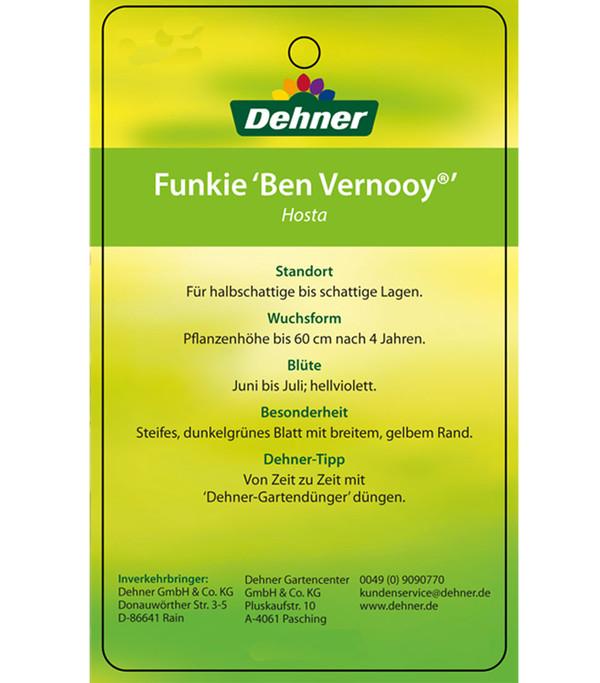 Blaue Gelbrand-Funkie 'Ben Vernooy®'