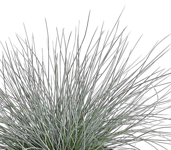 Blauschwingel 'Azurit' - Garten-Schwingel 'Azurit'