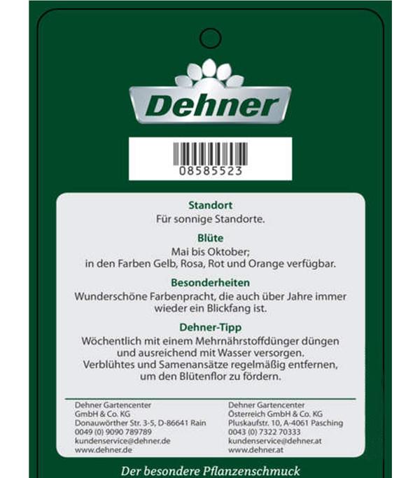 Blumenrohr – Canna | Dehner