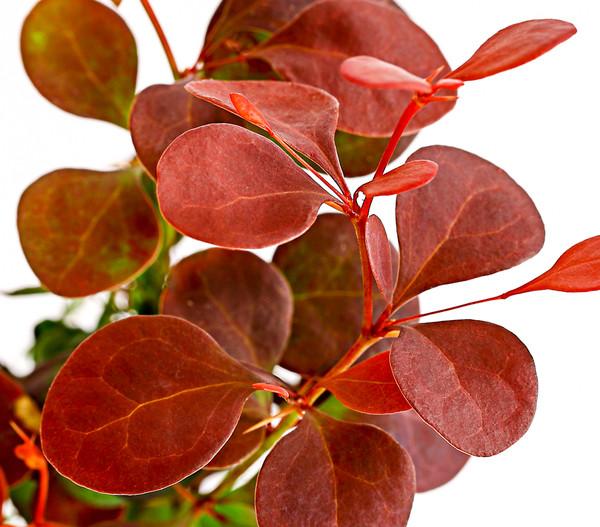 Blut-Berberitze 'Atropurpurea' - Rote Hecken-Berberitze
