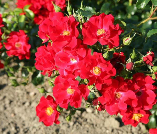 Bodendecker Rose 'Matador®'