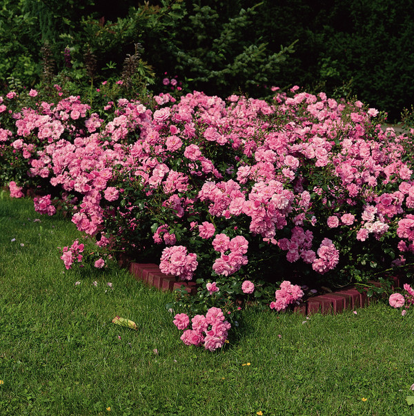 Bodendecker Rose 'Mirato®'