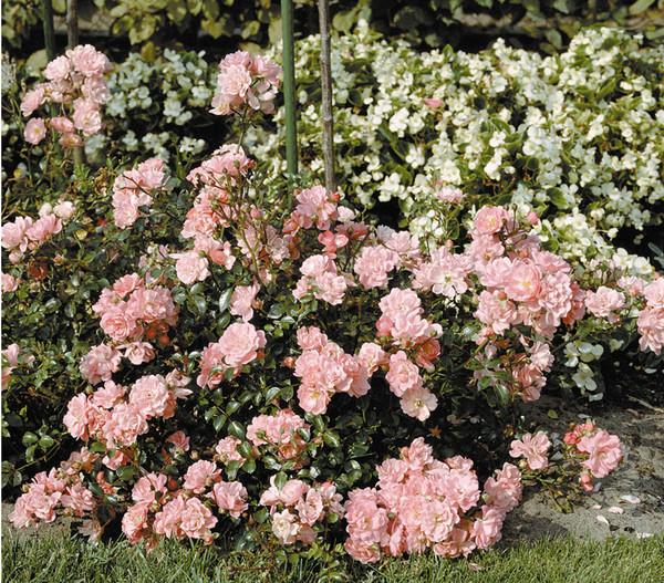 Bodendecker Rose 'Satina®'