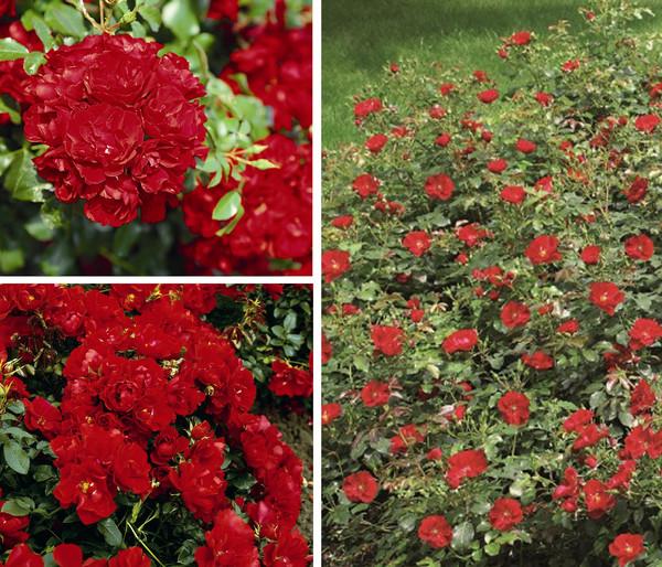Bodendeckerrosen-Paket, 3er Set 'Centro®-Rose'