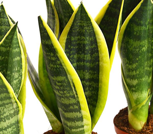 Bogenhanf - Sansevieria trifasciata, 3er-Set