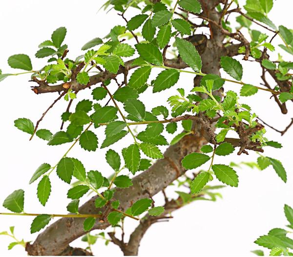 Bonsai - Chinesische Ulme, 8 Jahre