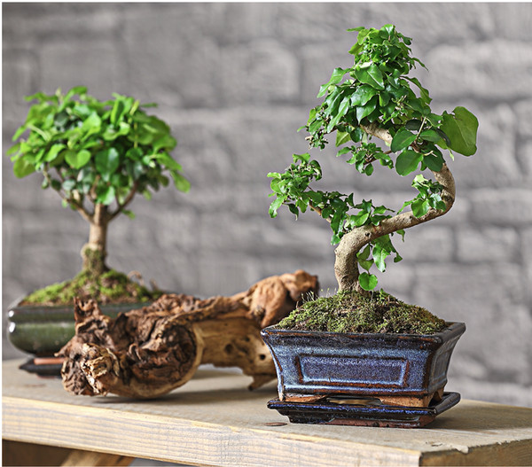 bonsai chinesischer liguster 6 jahre dehner. Black Bedroom Furniture Sets. Home Design Ideas