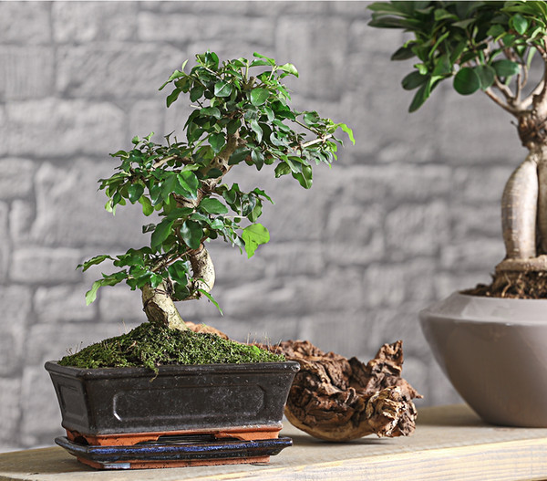 bonsai chinesischer liguster 8 jahre dehner. Black Bedroom Furniture Sets. Home Design Ideas