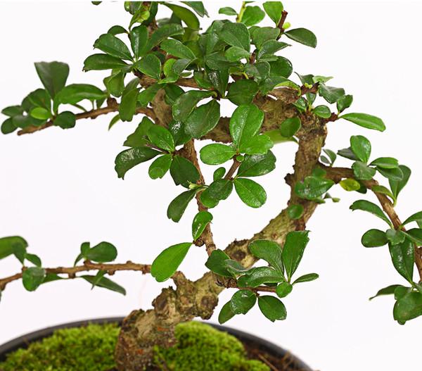Bonsai - Fukientee, mit Asia-Paravent