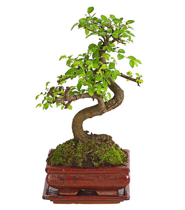 bonsai anf nger geschenkset chinesische ulme dehner. Black Bedroom Furniture Sets. Home Design Ideas