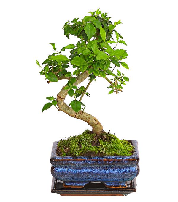 Bonsai Anfänger-Geschenkset - Chinesischer Liguster