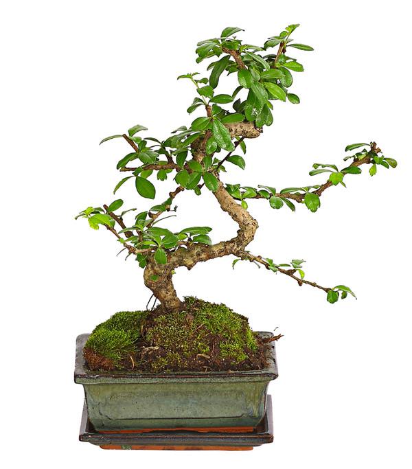 Bonsai Anfänger-Geschenkset - Fukientee