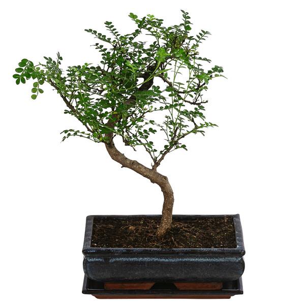 Bonsai Anfänger-Geschenkset - Szechuan-Pfeffer, 10 Jahre