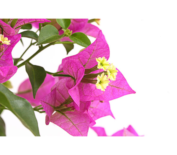 Bougainville, Pyramide/Spalier