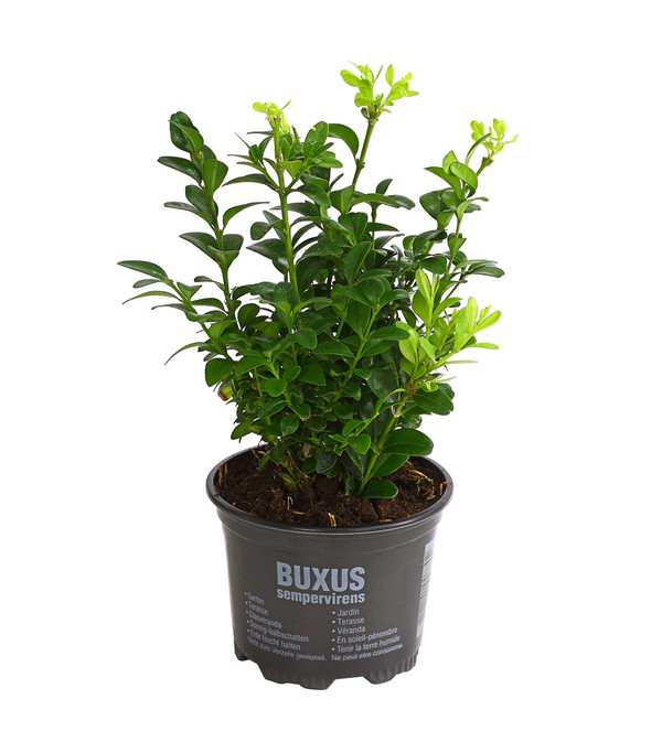 Buchs - Gewöhnlicher Buchsbaum