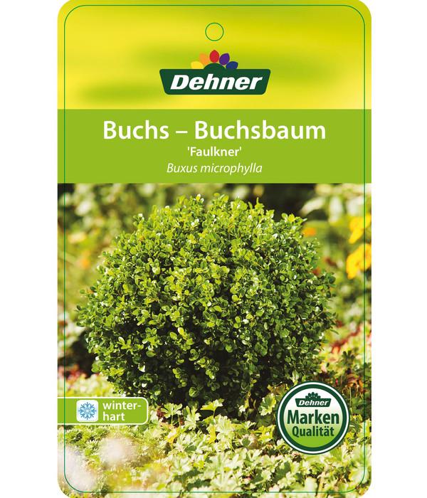 Buchs 'Faulkner' - Kleinblättriger Buchsbaum 'Faulkner', Stämmchen