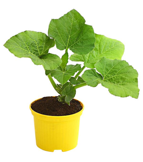 Butternut-Kürbis, Pflanze