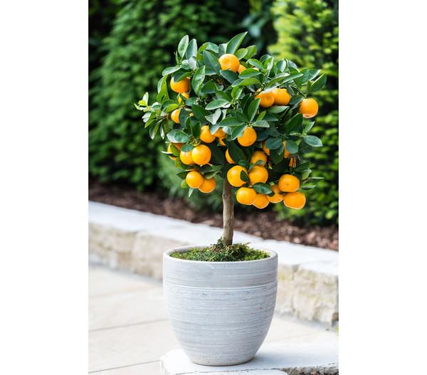 Calamondin-Orange