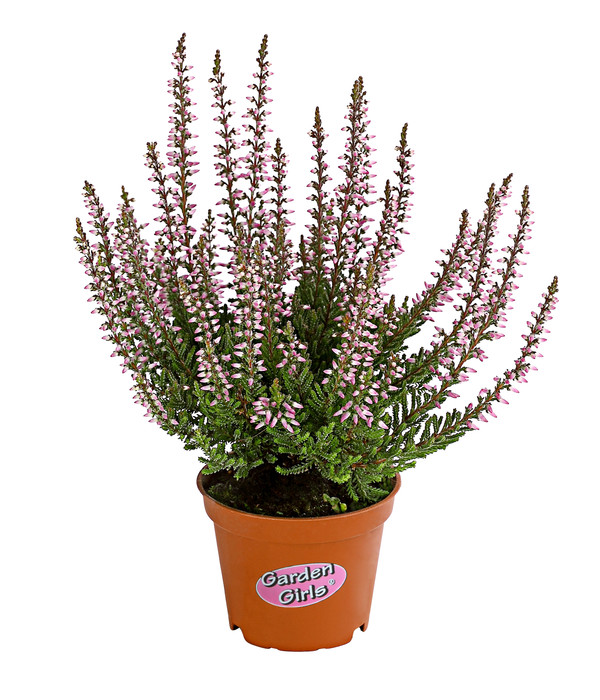 Calluna - Knospenheide, 'Mini-Girls®'