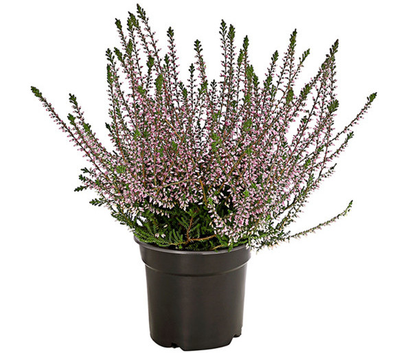 Calluna - Knospenheide, Mix