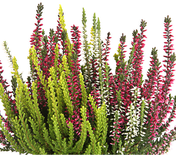 Calluna - Knospenheide, 'Trio-Girls®'
