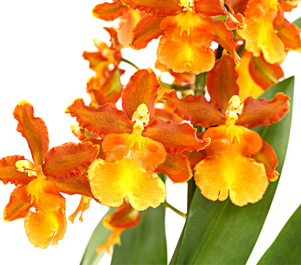 Cambria-Orchidee 'Catatanthe'