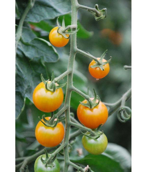 Cherrytomate 'Sungold'