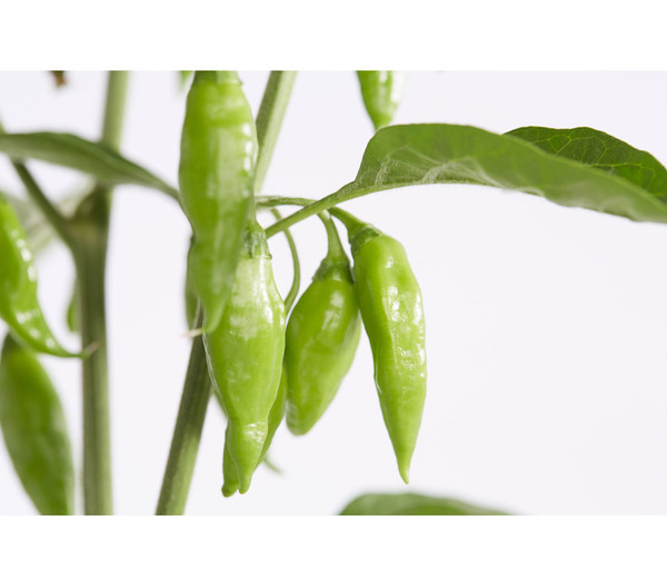 Chili 'Hot Lemon'