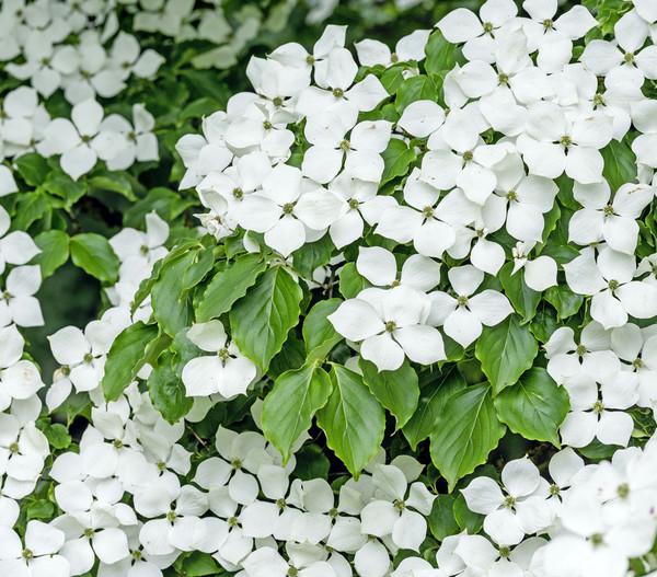 Chinesischer Blumen-Hartriegel