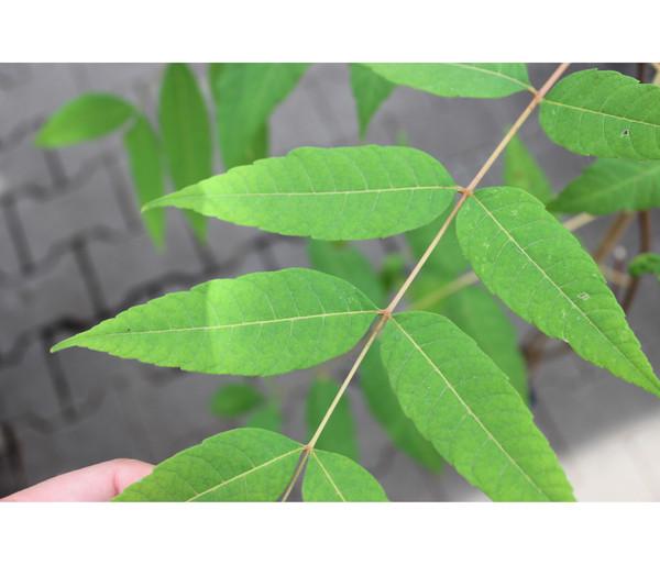 Chinesischer Gemüsebaum - Chop Suey Baum