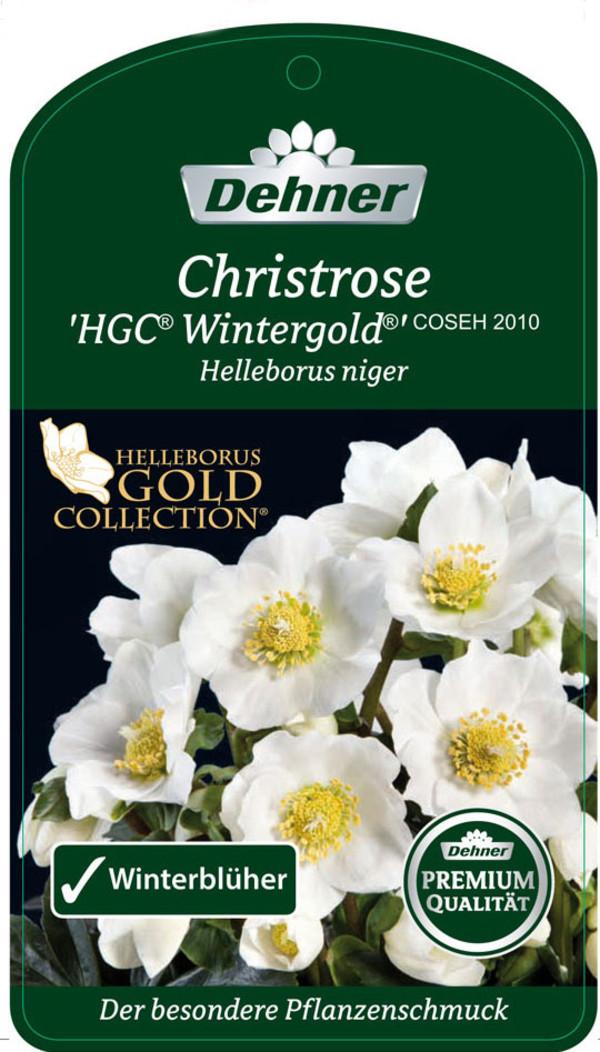 Christrose 'HGC® Wintergold®'- Helleborus Gold Collection®