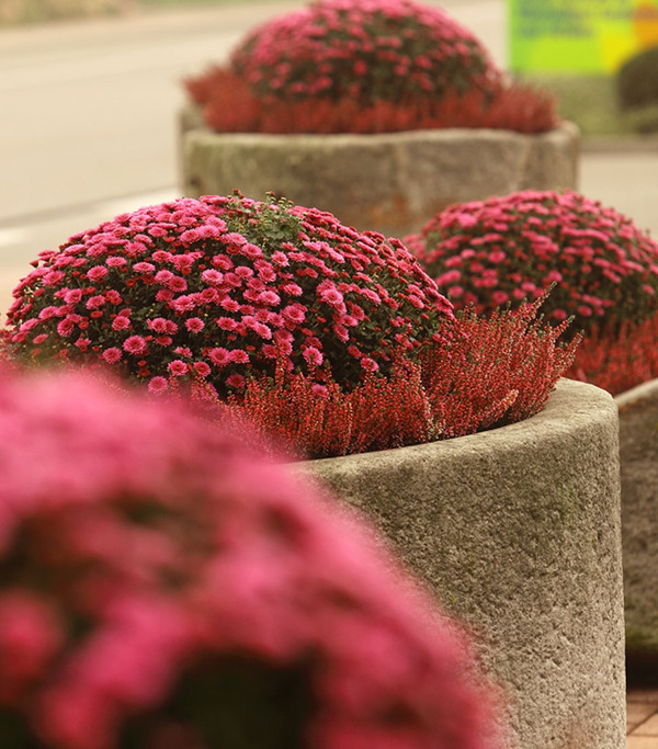 Chrysantheme 'Aviva'