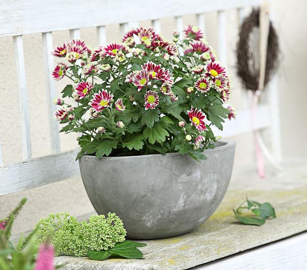Chrysantheme 'Ciao Improve'
