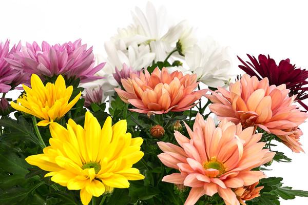 Chrysantheme 'Fifty'