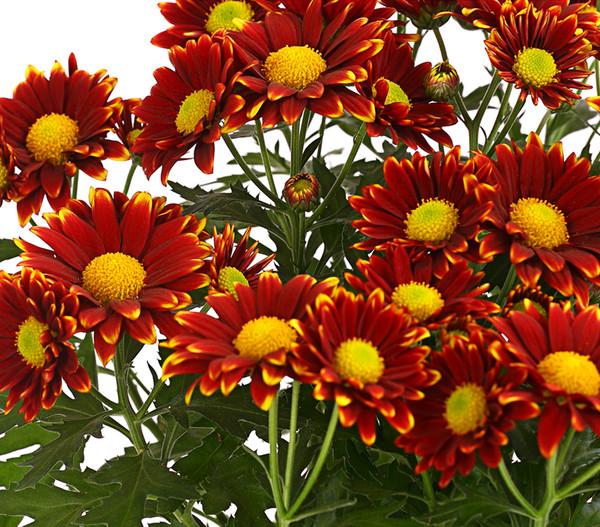 Chrysantheme 'Little Rock'
