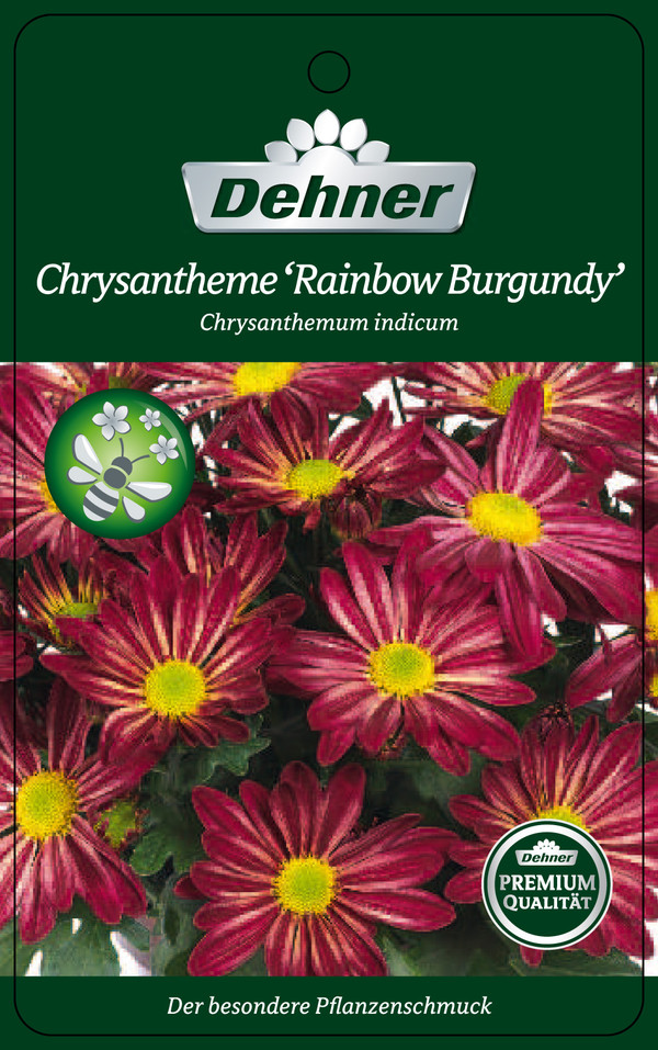 Chrysantheme 'Rainbow Burgundy'