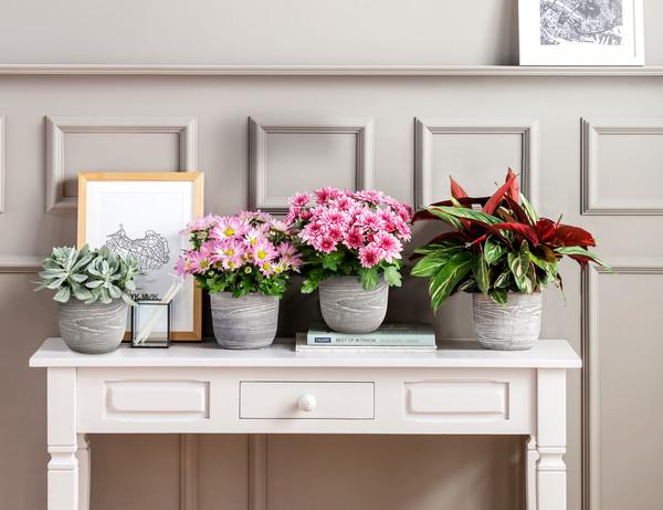 Chrysantheme 'Rainbow Pink Secret'