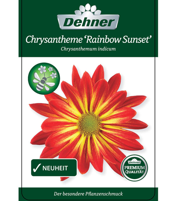 Chrysantheme 'Rainbow Sunset'