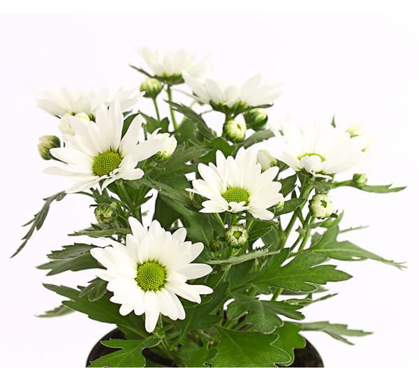 Chrysantheme 'Swifty'