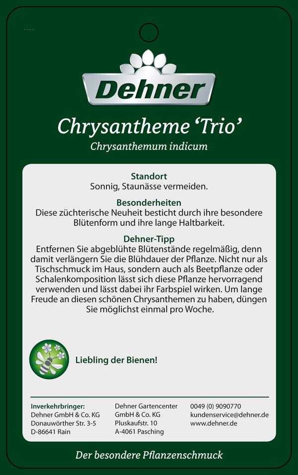 Chrysantheme 'Trio'
